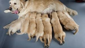 Puppy Feeding Chart Golden Retriever Golden Retriever Growth Chart How Fast Should A Golden Grow
