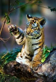 cute baby tiger. Delighful Baby Cute Baby Tiger Intended Baby Tiger