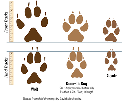 Wolf Vs Dog Size Chart Signs Of Wolves Western Wildlife Outreach