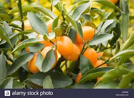 Tree Citrus Fruit Orange Tree Potted Plant Pictures Images And Small Orange Fruit On Tree