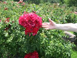 tyler rose garden tyler texas