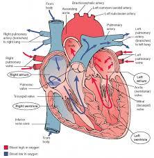 essay on human heart cardiovascular essay