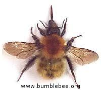 Bee Identification Chart Uk A Quick Identification Guide To British Bumblebees