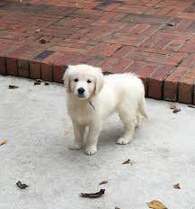 white golden retriever puppies for sale. Brilliant Puppies 1908335_1565417263708881_7401532545028103740_n   12193453_1631137853803488_4276772359268399511_n 11870692_1608472372736703_1984483255922672007_n With White Golden Retriever Puppies For Sale