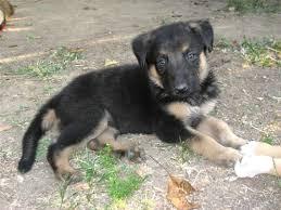 white german shepherd black lab mix. White German Shepherd Lab Mix Puppies The Cutest Puppy Ever Part II With Black