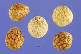 Plants Profile for Perilla frutescens (beefsteakplant)
