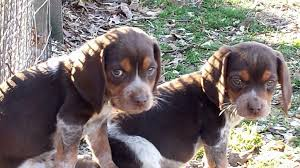 red tick beagle puppies