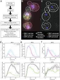 Multiplex RNA single molecule FISH of inducible mRNAs in single yeast cells