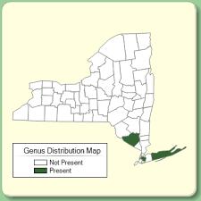 Buxus - New York Flora Atlas - University of South Florida