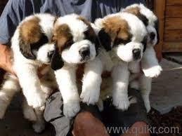 the dog world pure breed saint bernard chion line puppies for 09793862529