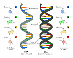 Nucleic Acids Structure And Function