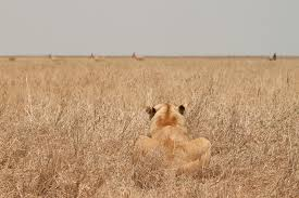 lioness stalking in grass. Wonderful Lioness Lioness Stalking Her Prey  By Fairminer In Grass