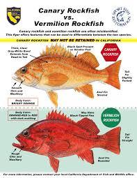 Rockfish Identification Chart Pin On Rockfish And Lingcod