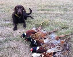 chocolate lab pheasant hunting. Plain Chocolate Chocolate Lab Pheasant Hunting  Montana U0026 Fishing Blog Intended Pinterest