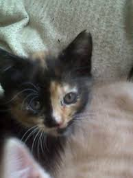 cutest little kitten with black brown ginger and white fur namedpumpkin