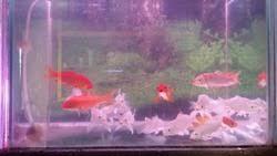 milky koi fish and orange koi fish