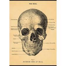 Skull Human Anatomy Scientific Vintage Art Poster