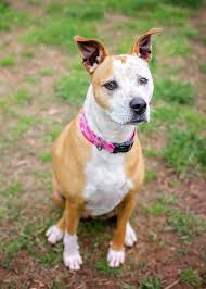 terrier pitbull mix puppies. Perfect Terrier Calm Obedient Pit Bull Mix Throughout Terrier Pitbull Puppies