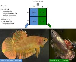 Betta Genetics Chart Betta Genetics Color And Form Inglorious Bettas
