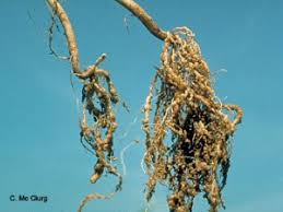 Root Knot R K And Soybean Cyst Nematode Scn