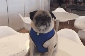 pug gif. Unique Gif Dog Pug GIF By The BarkPost And Gif O