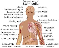stem cell research pro and cons research paper  stem cell research pro and cons research paper