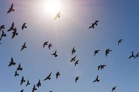 birds flying. Modren Flying Bird Photograph  Flock Of Birds Flying Against Blue Sky And Bright Sun By  Bradley Hebdon In I