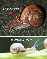 カタツムリ 生まれ た 時 から 殻