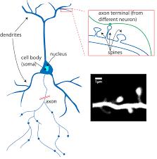 What Is A Neuron Queensland Brain Institute University