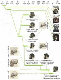 Биологическая эволюция и её признаки Эволюционная биология  Рис 114 Эволюционное древо приматов и человека