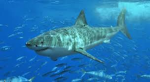 Juvenile Great <b>White Sharks</b> Return To San Diego For <b>Summer</b> ...