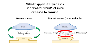 scientists create mouse that resists cocaine s lure ubc scientists create mouse that resists cocaine s lure