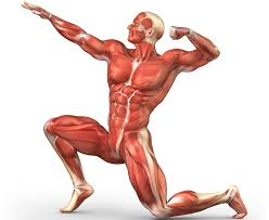 human muscular system diagram unlabeled - Google Search | Muscular ...