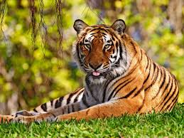 tiger wallpaper desktop. Unique Desktop With Tiger Wallpaper Desktop P