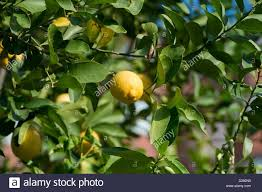 Hotel Green Lemon Lemon Trees Grow In The Garden Of A Hotel In Belek Turkey 11