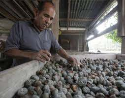 In Texas, peyote dealers struggle with dwindling supply - The Boston Globe