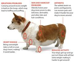 Weekly Wag Health Risks Of Free Feeding Overweight Dog