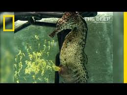 Watch a Seahorse Give Birth to 2,000 Babies   National Geographic ...