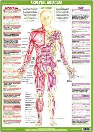 Muscle Anatomy Charts Set Of 4