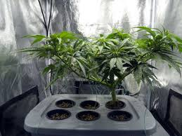 how many cans plants should i grow for the biggest fastest yields