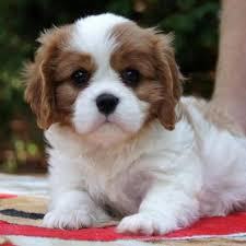 cute puppies for sale. Simple Sale AKC Cavalier King Charles Spaniel Puppies For Sale To Cute For
