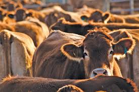 us roundtable for sustainable beef releases first ever national framework for beef sustaility