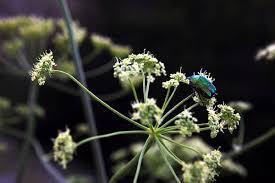 Насекомые кузнечики цикады шмели пчелы поющие насекомые  Бронзовка золотистая cetonia aurata фото насекомые фотография