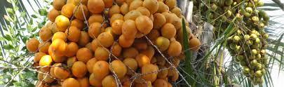 North Florida Wholesale Palm Trees And Bamboo  Palmco  FloridaPalm Tree Orange Fruit