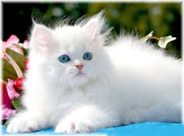 cute white fluffy kittens for sale. Unique White White Persian Kitten To Cute Fluffy Kittens For Sale E