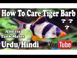 Tiger Barb Compatibility Chart How To Care Tiger Barb Its Tank Mates Urdu Hindi