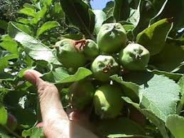 Tree Fruits And Nuts Resources   NC State ExtensionFruit Tree Nursery North Carolina