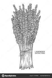 Grafische Lavendel Boeket Stockvector Homunkulus28 191006482