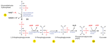 Glycolysis Chart With Enzymes Glycolysis Biology For Majors I