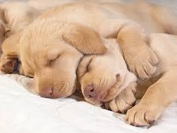 really cute golden retriever puppies sleeping. Brilliant Really Cute Golden Retriever Puppies Sleeping Inside Really T